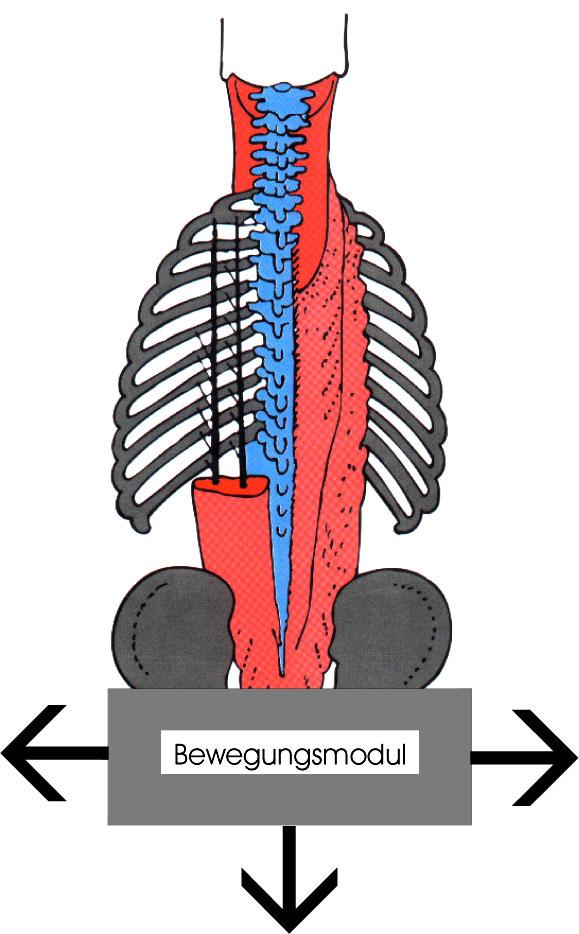 Die Muskulatur des Rumpfes